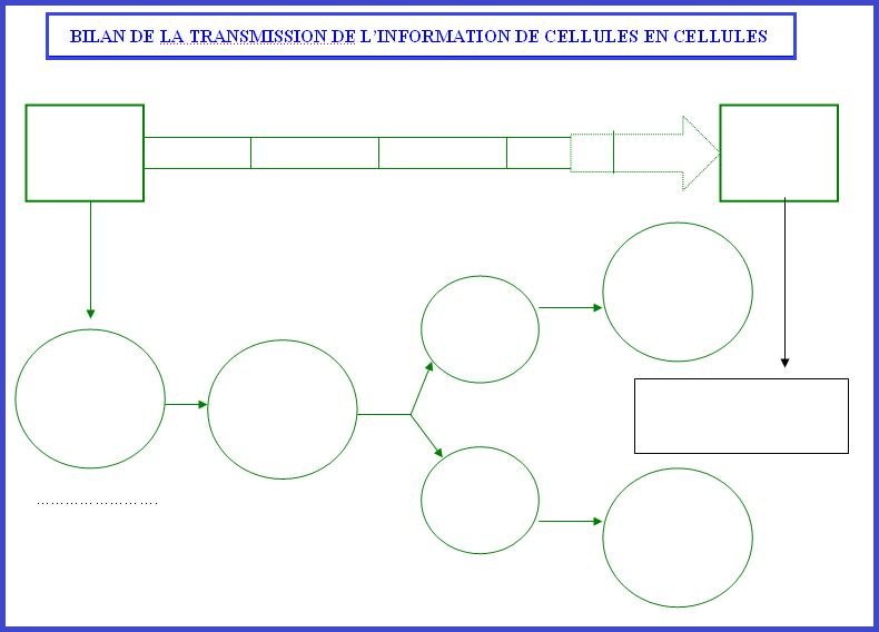 Bilanb de la transmossion de l'information de cellule en cellule SVT génétique mitose interphase