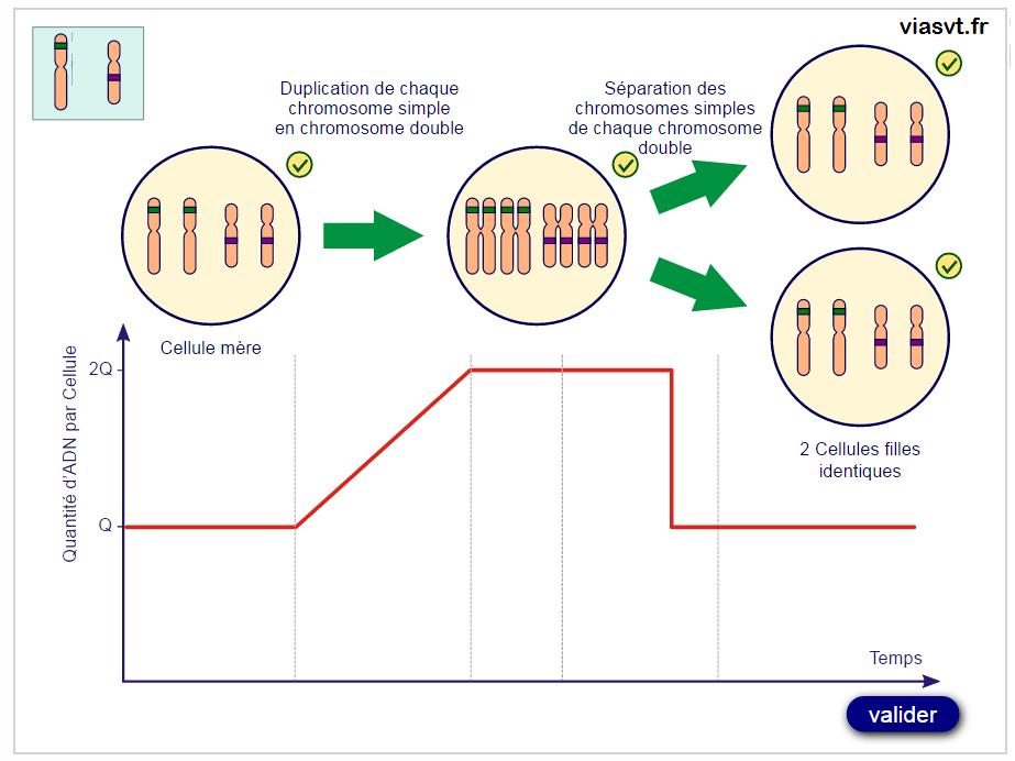 animation multiplication cellulaire SVT génétique