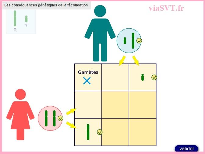 conséquences génétiques de la fécondation SVT