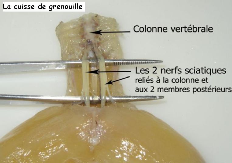 Observation de liaisons nerveuses vive les svt les - Comment cuisiner des cuisses de grenouilles surgelees ...