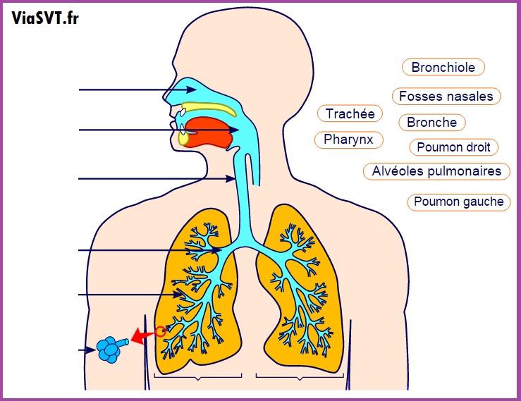 exercices svt 5ème respiration humaine