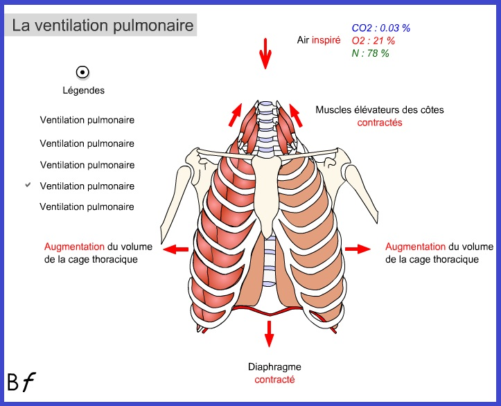 Populaire L'appareil respiratoire humain - Cours de SVT 5ème | Vive les SVT  DW94