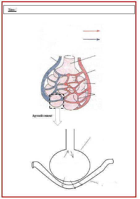 L'appareil respiratoire humain - Cours de SVT 5ème | Vive ...