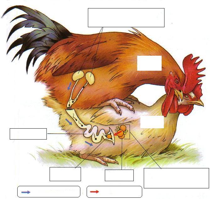 Sex organ of birds simply matchless
