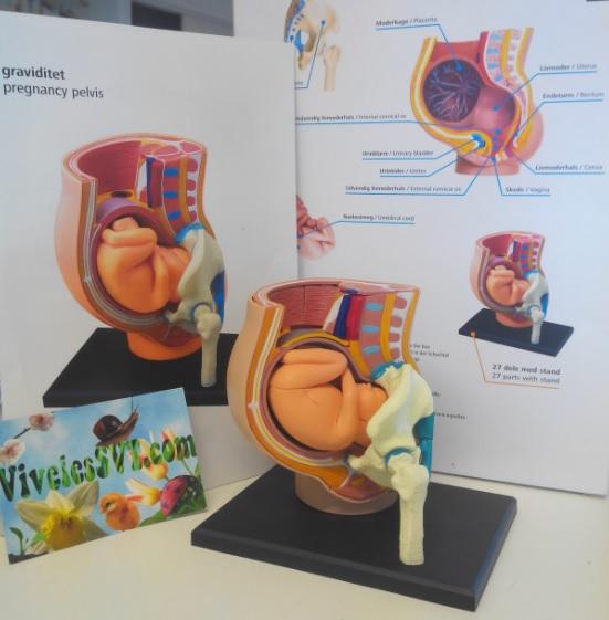 maquette foetus reproduction être humain SVT