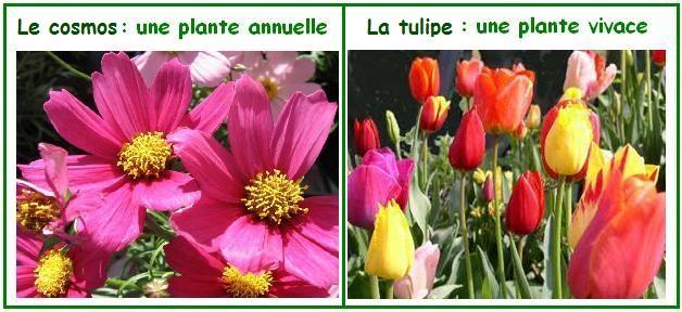 plantes vivaces annuelles