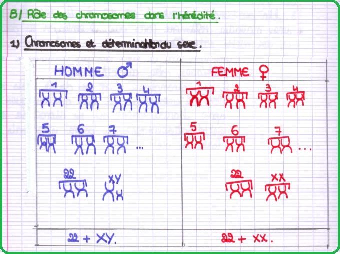 role des chromosomes sexuels