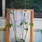 Croissance des haricots production de matière SVT (4)
