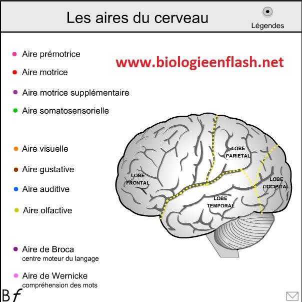 aires-du-cerveau