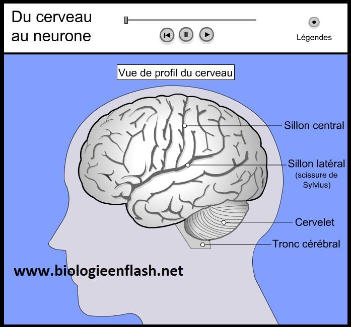 du-cerveau-au-neurone