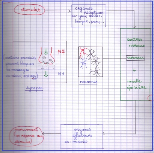schema-bilan-systeme-nerveux-svt-4eme