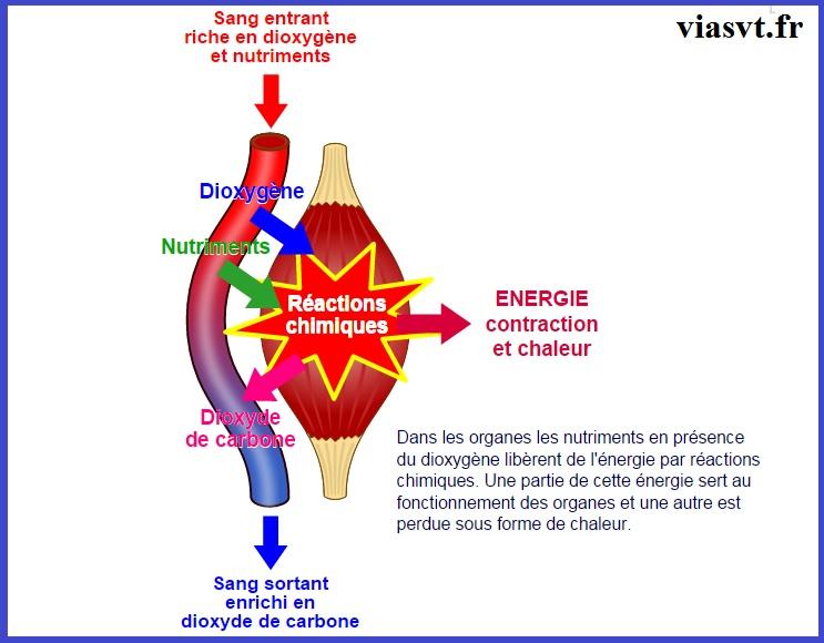 besoin des organes énergie respiration SVT