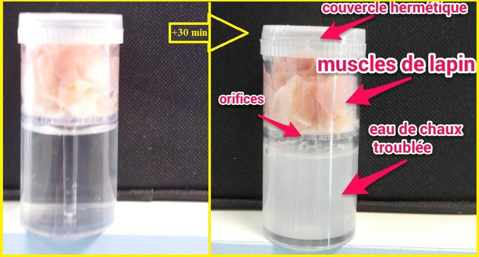 expérience eau de chaux muscles SVT CO2