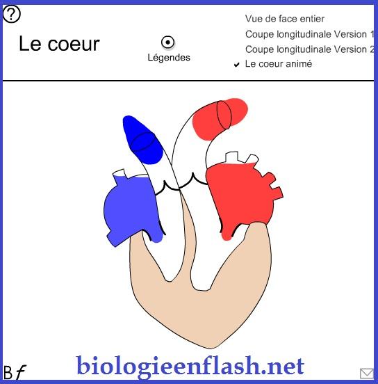 circulation sanguine coeur animation