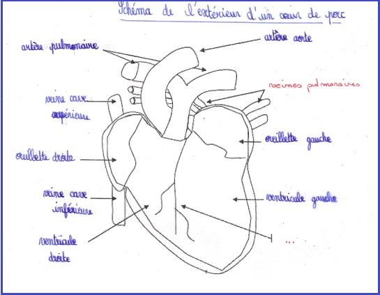 la circulation sanguine 5eme controle