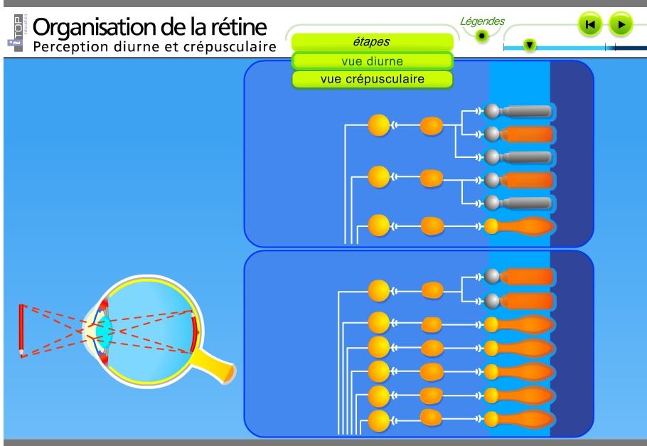Organisation de la rétine SVT Bac ES L