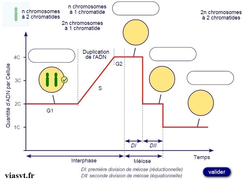 meiose et ADN terminale S SVT BAC