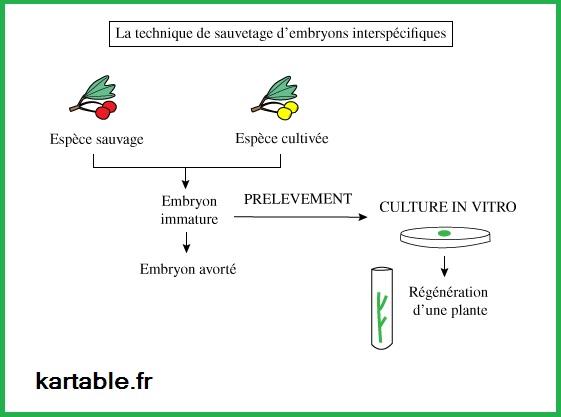 la plante domestiquée embryons SVT BacS