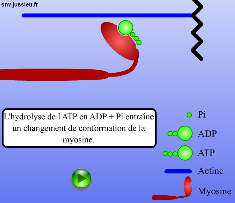 myosine SVT