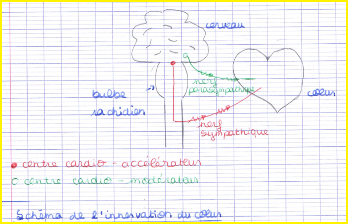 innervsation du coeur SVT boucle de régulation nerveuse
