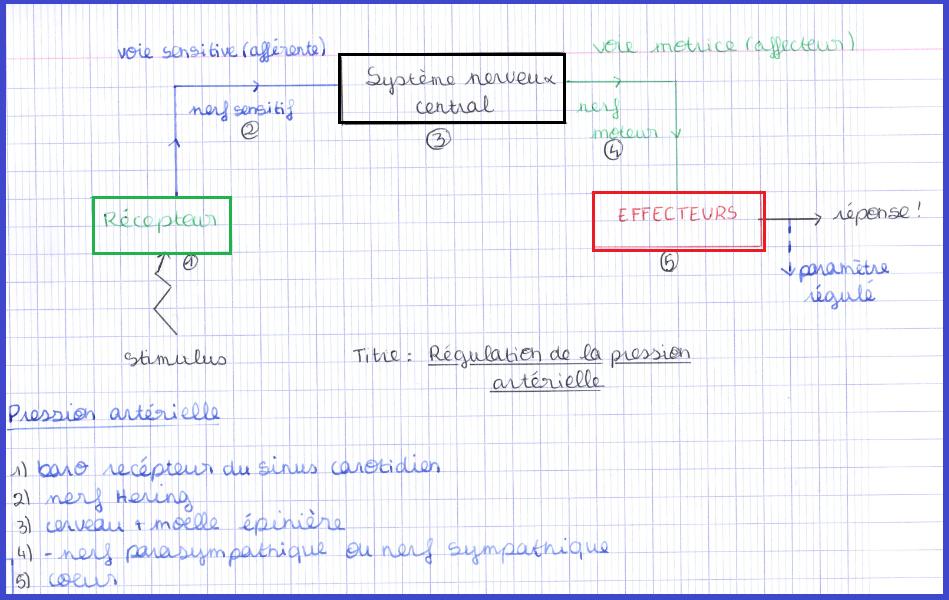 schéma bilan controle boucle nerveuse SVT 2nde