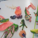 Classification des espèces maquettes animaux SVT 3D 4D (9)