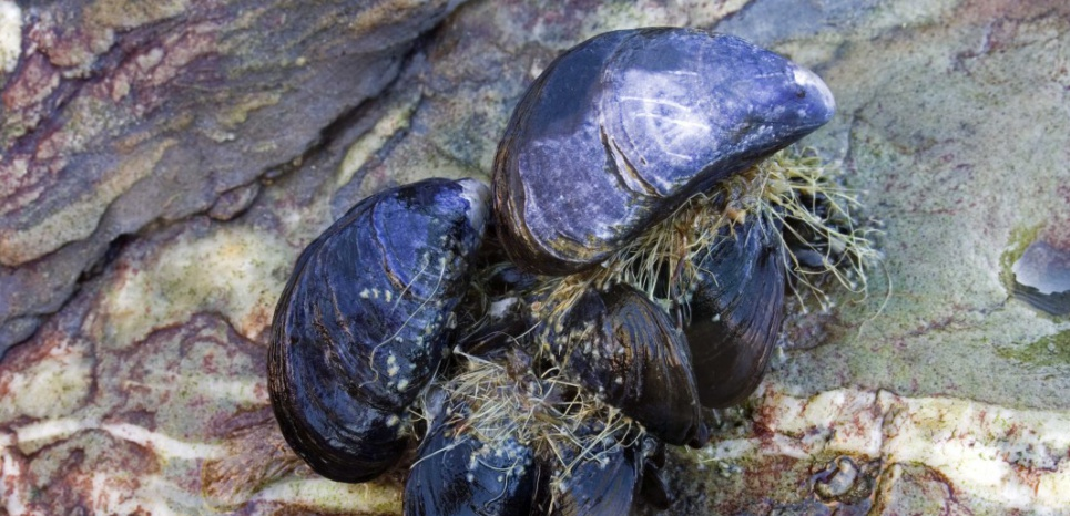 Mandatory Credit: Photo by Paul Kay / SplashdownDirect / Rex Features ( 842249a ) A small group of common (or blue) mussels attached to rock in the intertidal. The byssus threads attaching the mussels to the rock and to eachother can be clearly seen MARINE WILDLIFE