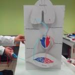 Modélisation de la circulation sanguine SVT (13)