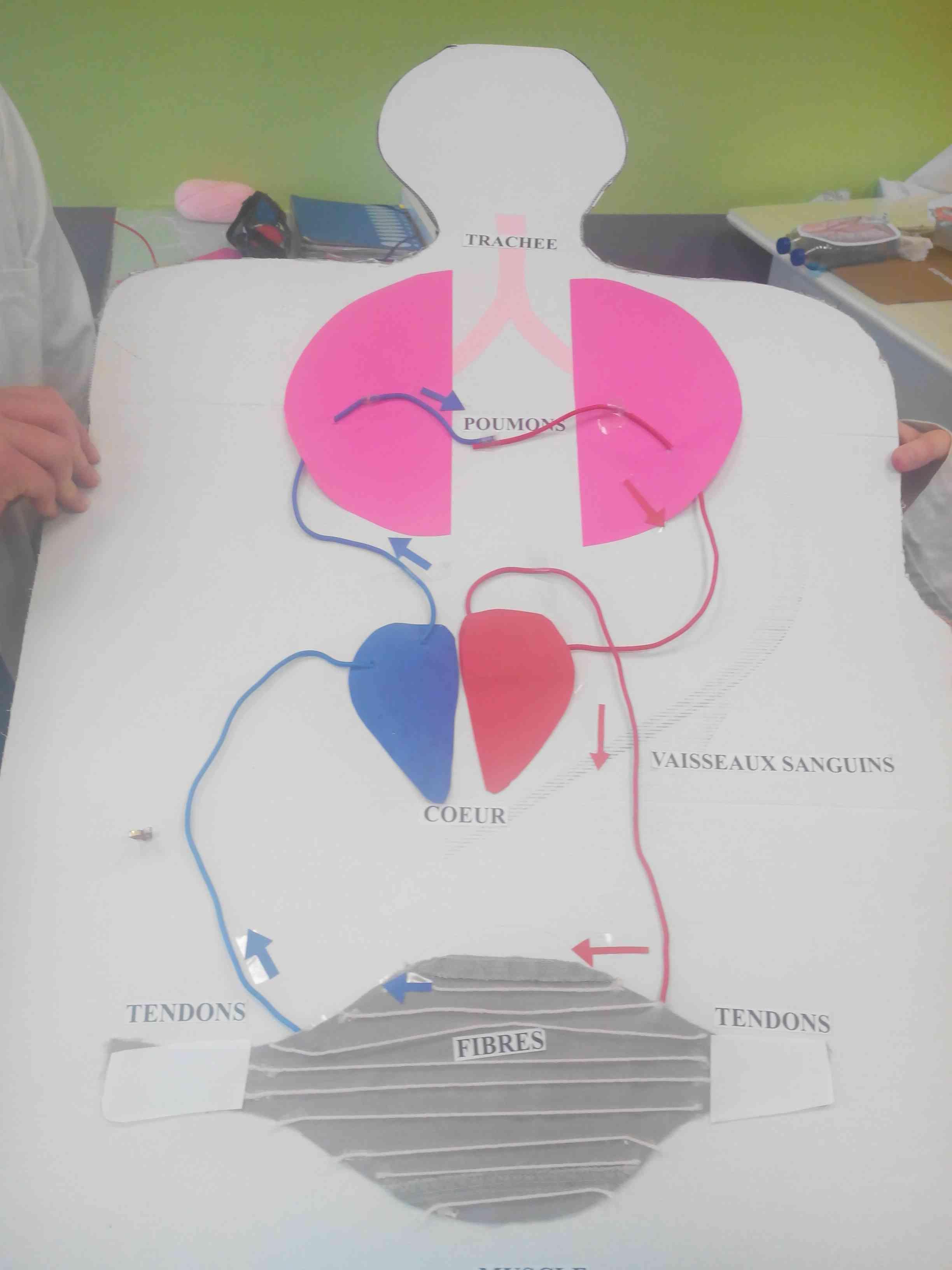 Modélisation de la circulation sanguine SVT (4)