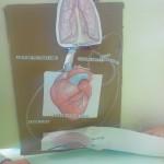 Modélisation de la circulation sanguine SVT (7)
