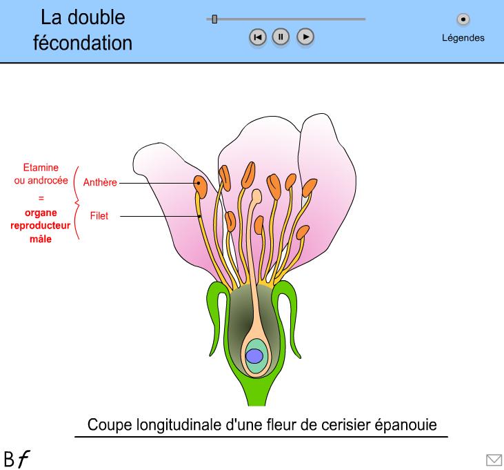 schéma d'une fleur fécondation SVT