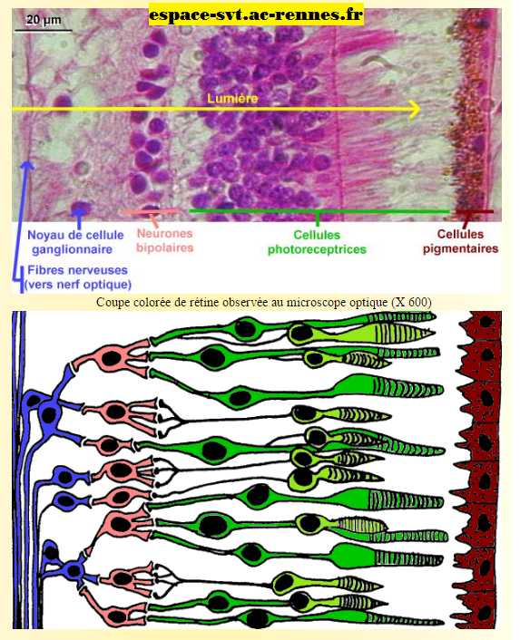 organisation-structurale-de-la-retine-svt-1ere-s-oeil
