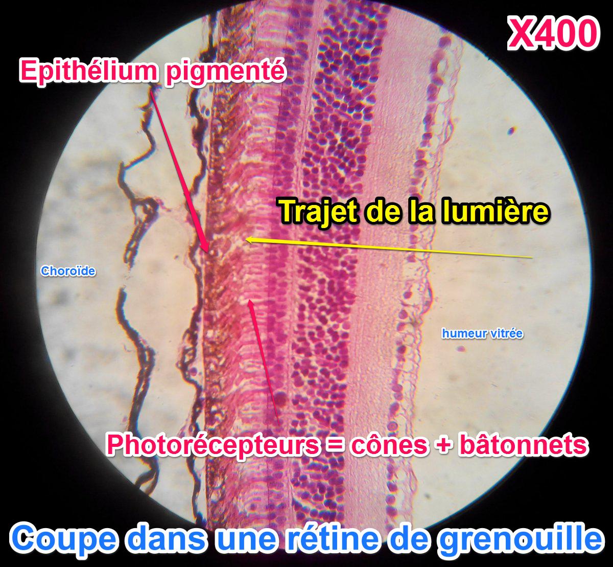 retine-organisation-cellules-batonnets-cones-photorecepteurs