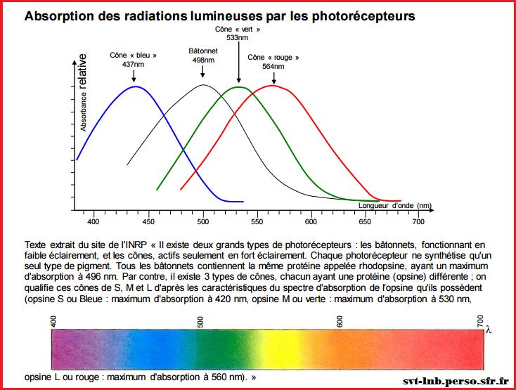 absorption-des-radiations-lumineuses-par-les-photorecepteurs