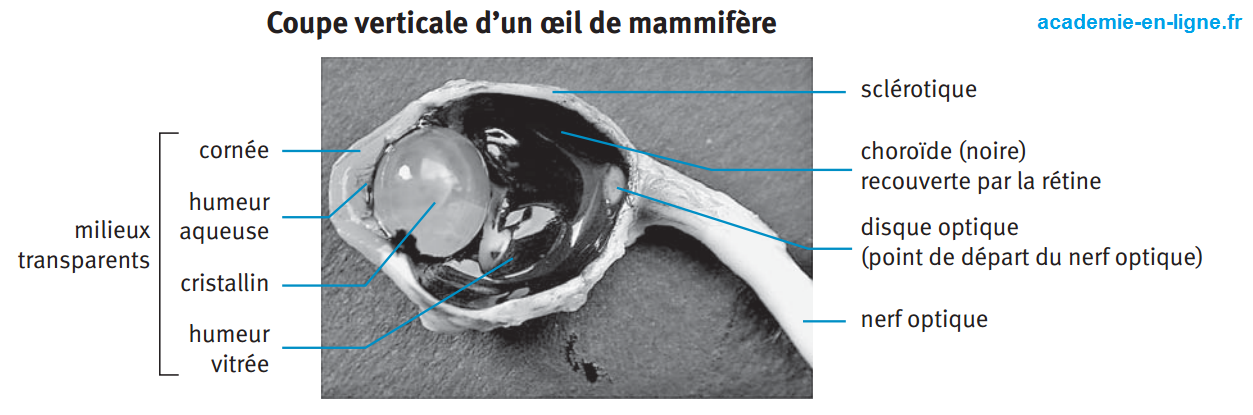 coupe verticale oeil mammifère