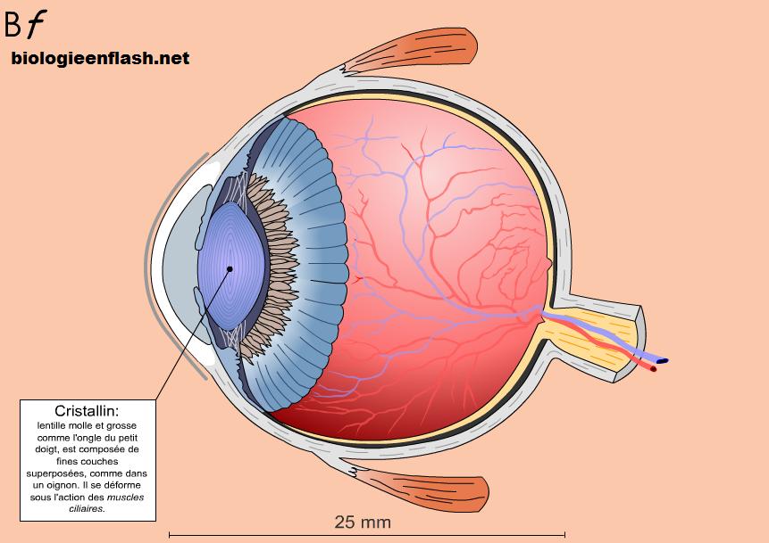 oeil bioenflash schéma 1ère S