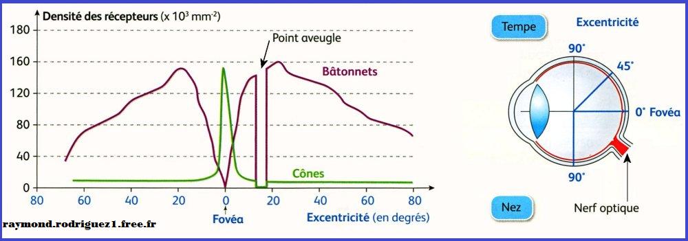 repartition-cones-batonnets-svt-1ere-s-oeil-retine