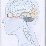 De l'oeil au cerveau quelques aspects de la vision – SVT 1ère (8)