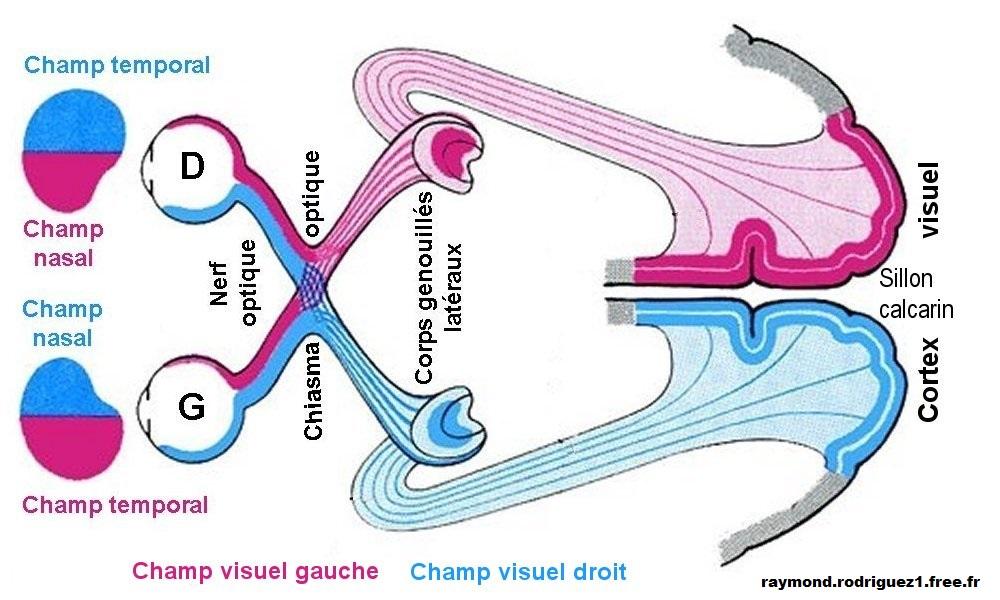 voies-visuelles-svt-1ere-s-chiasma-optique