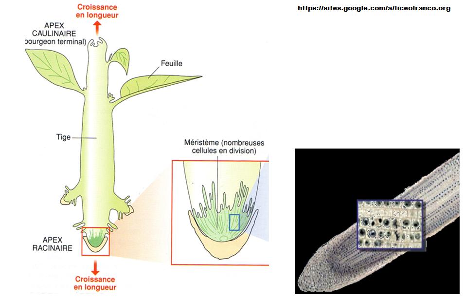 cellules méristématiques SVT mitose génétique