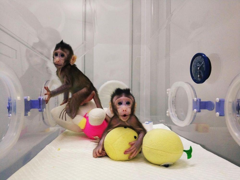primate clonage