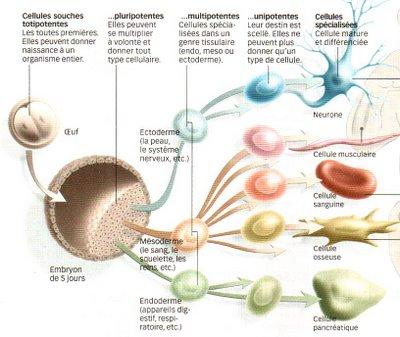 Du cortex cérébral à partir des cellules souches