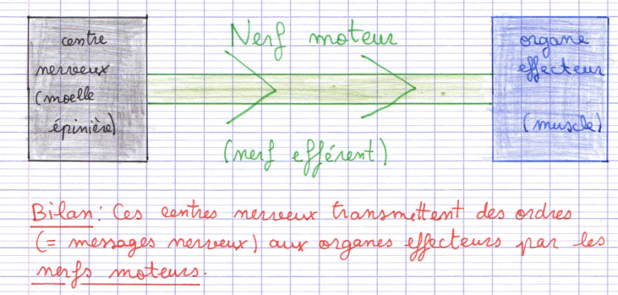 voie motrice SVT système nerveux nerf efférent