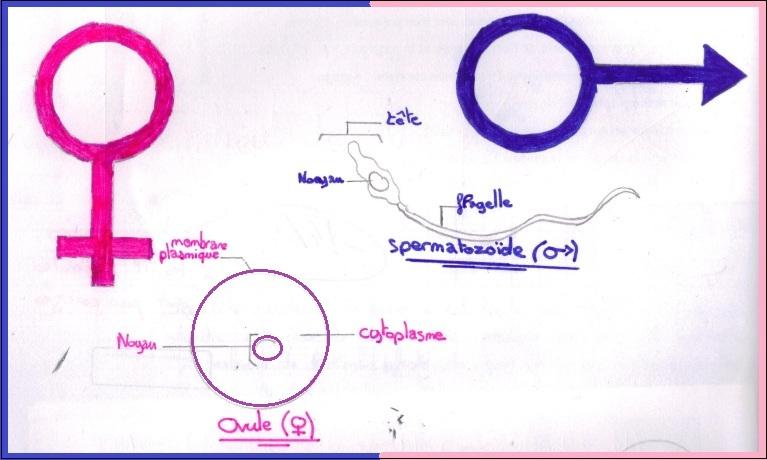 cellules-reproductrices-male-et-femelle