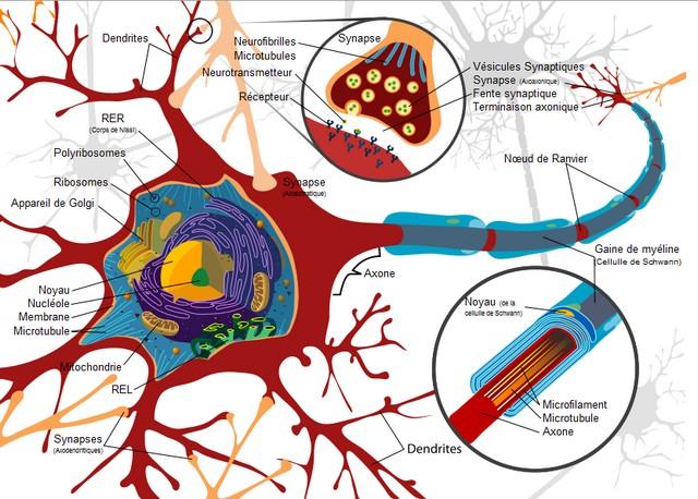 Obtention de cellules souches neuronales