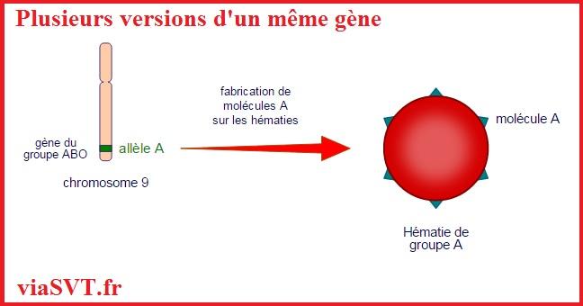 Plusieurs versions d'un même gène SVT animation génétique
