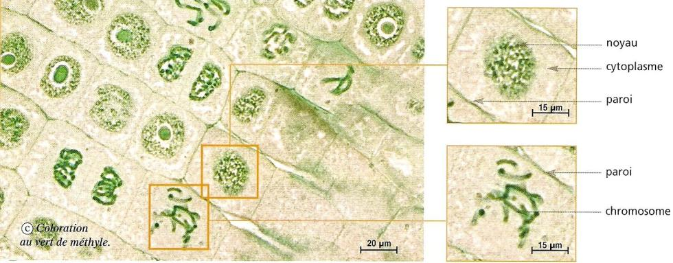 cellules-vegetales