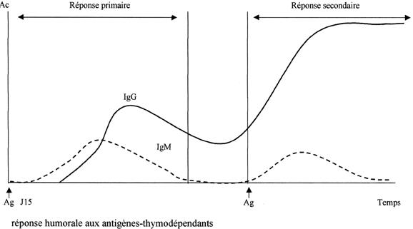 lymphocytes-memoires