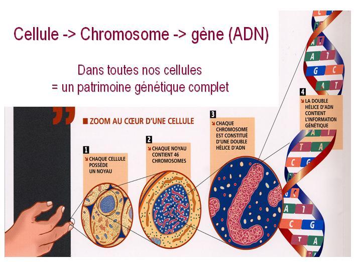 adn-cellule