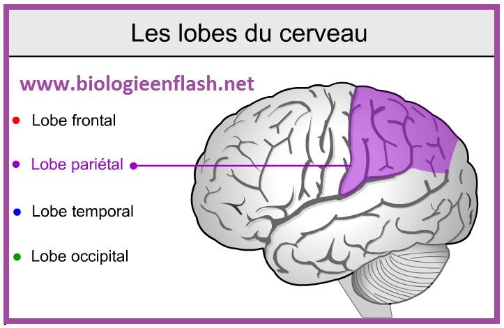 lobes-du-cerveau